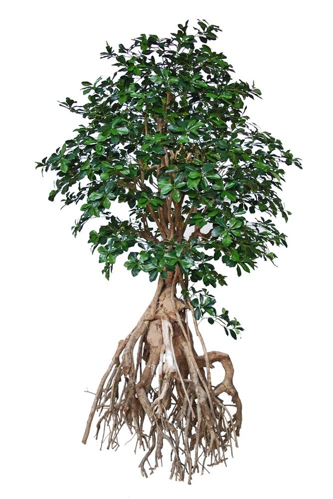 Buxifolia Root Giant